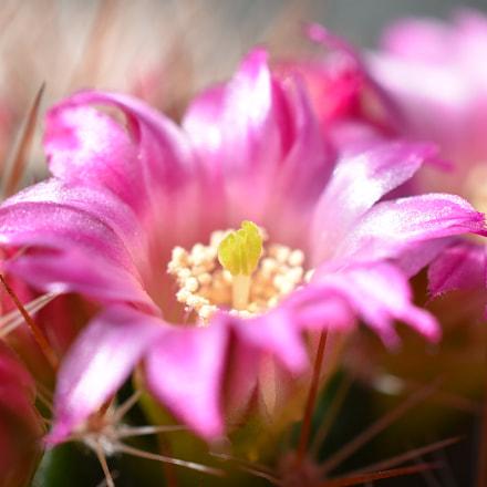 Floraison de Mammillaria, Nikon D5600, AF-S DX Micro Nikkor 40mm f/2.8G