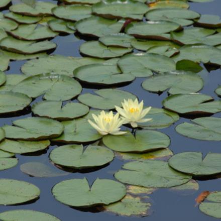 Fleurs de Lotus, Kyoto, Nikon D200, AF-S DX VR Zoom-Nikkor 18-200mm f/3.5-5.6G IF-ED