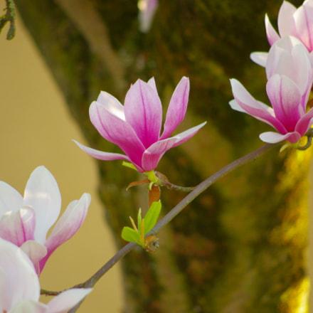 Powerful magnolia, Pentax K-5, HD PENTAX-DA 55-300mm F4-5.8 ED WR
