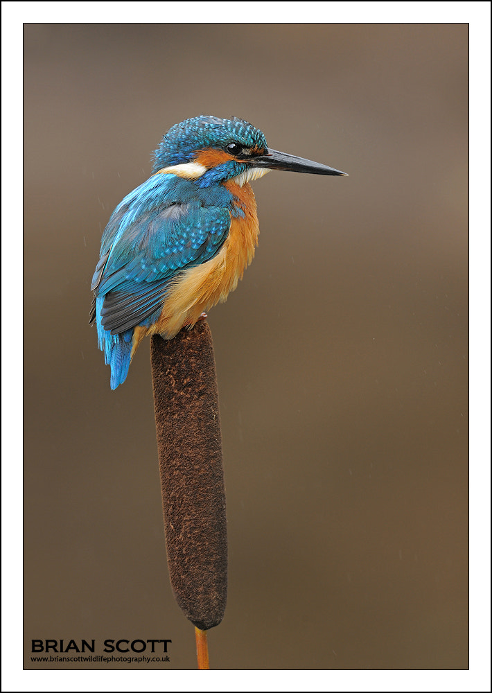 Photograph Bulrush Kingfisher by Brian Scott on 500px