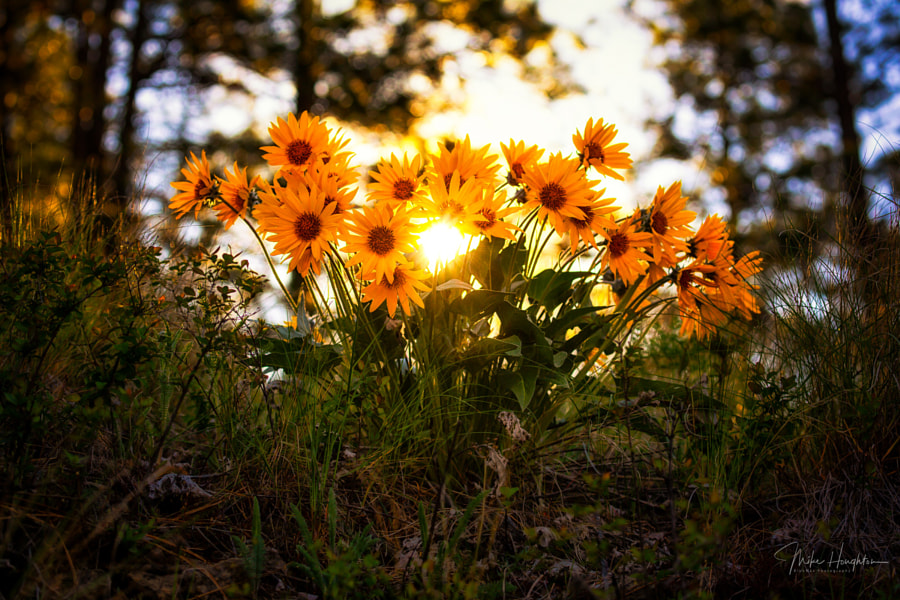 Sunrise through wild mountain daisies., автор — Mike Houghton на 500px.com