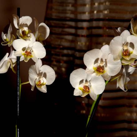 Orchids - Storczyki, Nikon D750, AF-S VR Zoom-Nikkor 24-85mm f/3.5-4.5G IF-ED