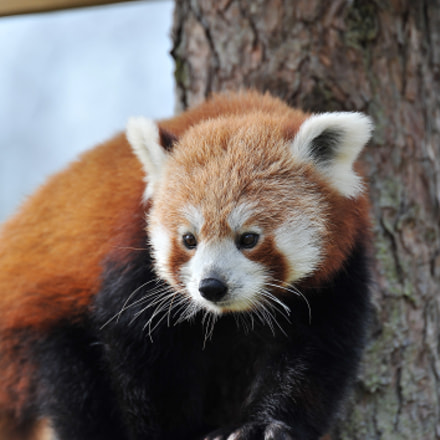 Red panda, Nikon D700, Sigma APO 170-500mm F5-6.3 Aspherical RF