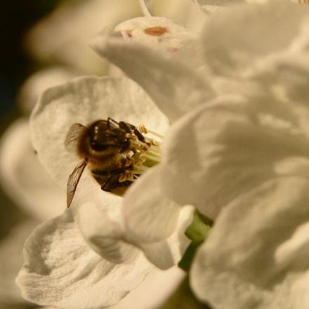 Bee, Nikon D7100, Sigma 17-50mm F2.8 EX DC OS HSM