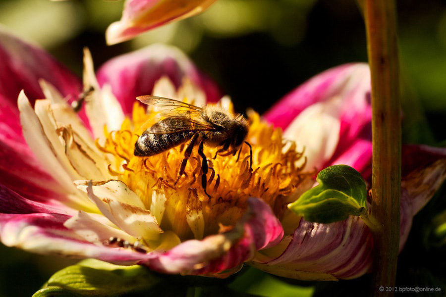 Photograph Searching bee by Benno Pütz on 500px