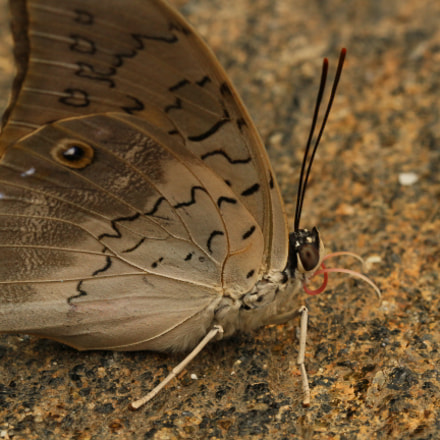 Butterfly horns, Canon EOS 7D, Canon EF 100mm f/2.8L Macro IS USM