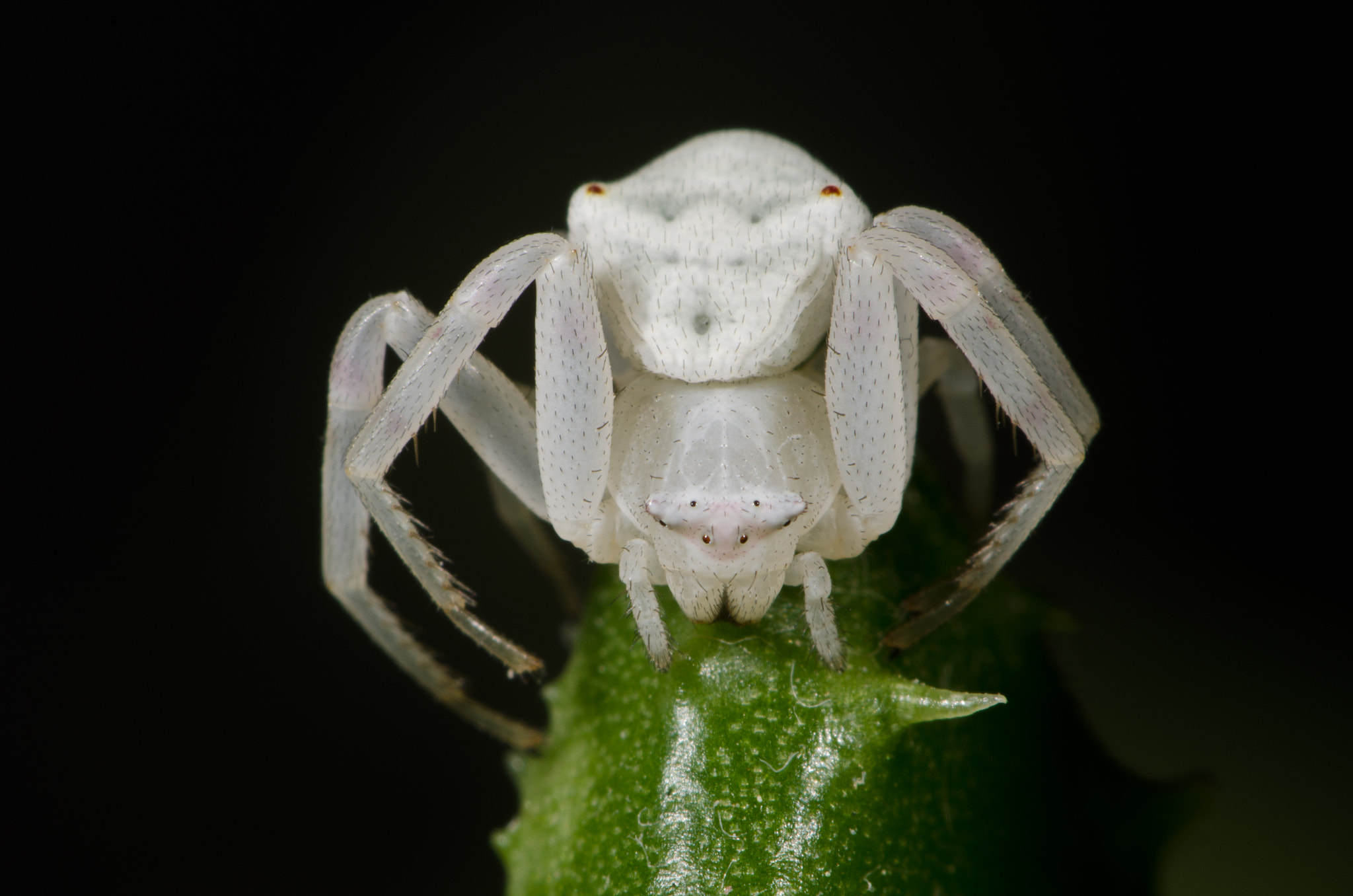 Photograph White crab spider No.2 by guidodelgiudice on 500px