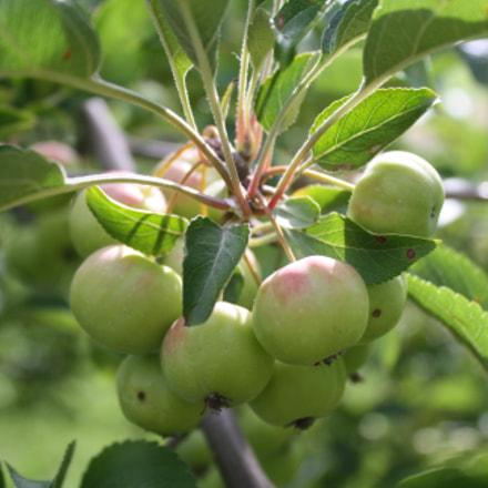 Apples, Canon EOS DIGITAL REBEL XS, Canon EF-S 18-55mm f/3.5-5.6 IS II