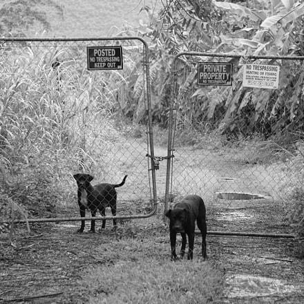 Dogs Fence BW, Sony ILCE-6300, Sony FE 24-240mm F3.5-6.3 OSS