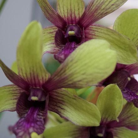 Purple Green Orchid Close, Sony ILCE-6300, Sony E 18-50mm F4-5.6
