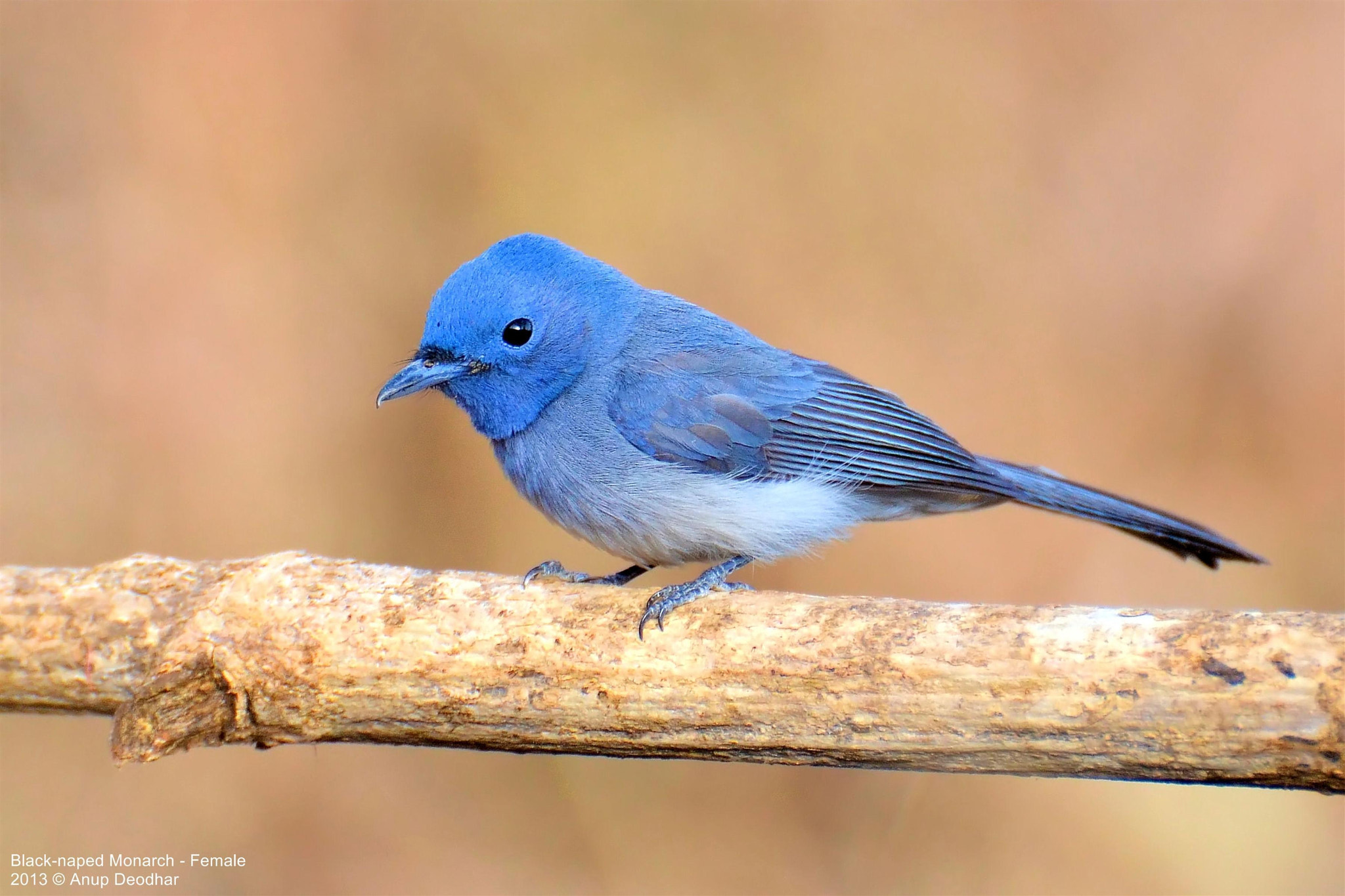 Photograph Black-naped Monarch - Female by Anup Deodhar on 500px