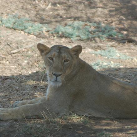 Gir Lioness, Nikon D50, Sigma 28-300mm F3.5-6.3 DG Macro