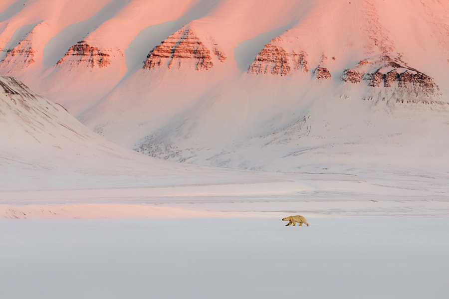 Polar bear, автор — Marco Gaiotti на 500px.com