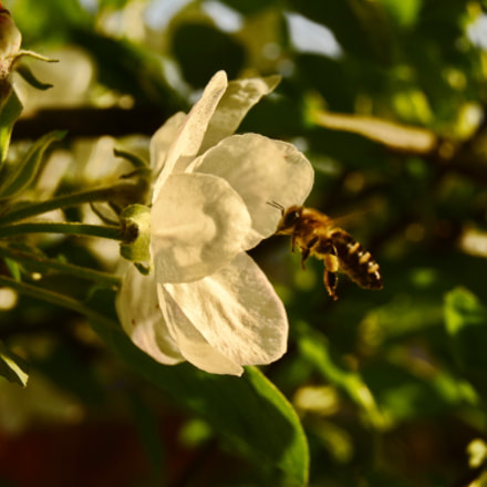 bee and flower, Nikon D7100, Sigma 17-50mm F2.8 EX DC OS HSM