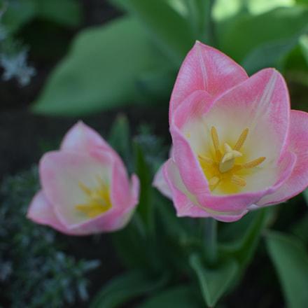 Pink tulips, Nikon D3300, AF-S DX Nikkor 35mm f/1.8G