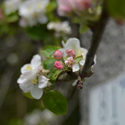 Apple flowers, Nikon D5200, AF Zoom-Nikkor 35-70mm f/3.3-4.5 N