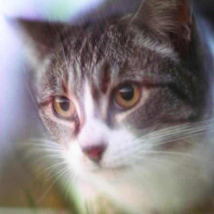 Cat every day, Sigma SD1 MERRILL, Sigma 85mm F1.4 EX DG HSM