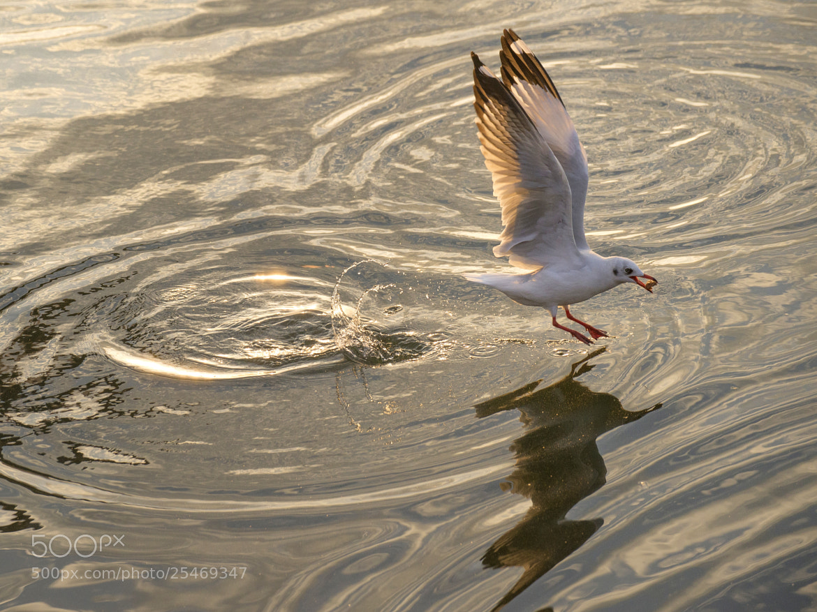 Photograph Seagull by Kawin Samer on 500px