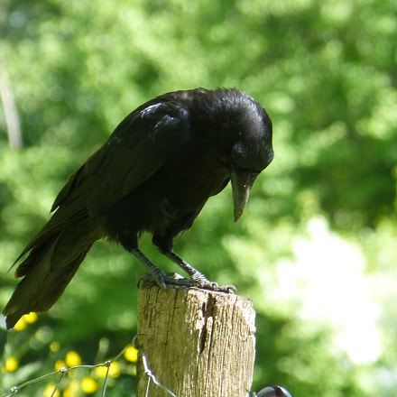 Crow, Panasonic DMC-FZ62