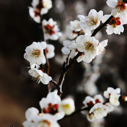 Plum blossom(梅), Canon EOS 70D, Sigma 18-35mm f/1.8 DC HSM