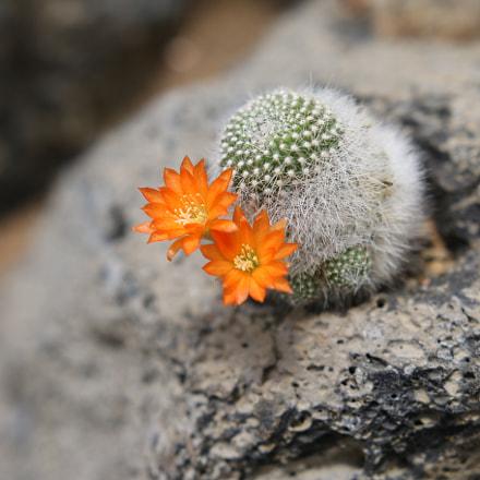 Cactus(サボテン), Canon EOS 70D, Sigma 18-35mm f/1.8 DC HSM