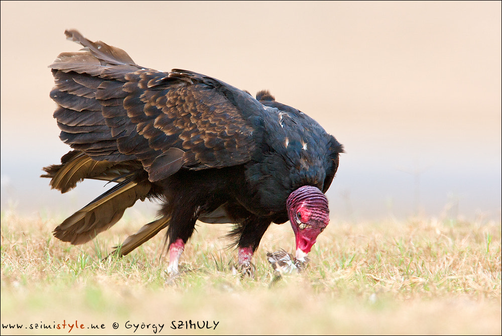 Photograph Turkey Vulture (Cathartes aura) by Gyorgy Szimuly on 500px