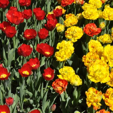 tulips, Nikon D5000, AF-S DX Nikkor 35mm f/1.8G