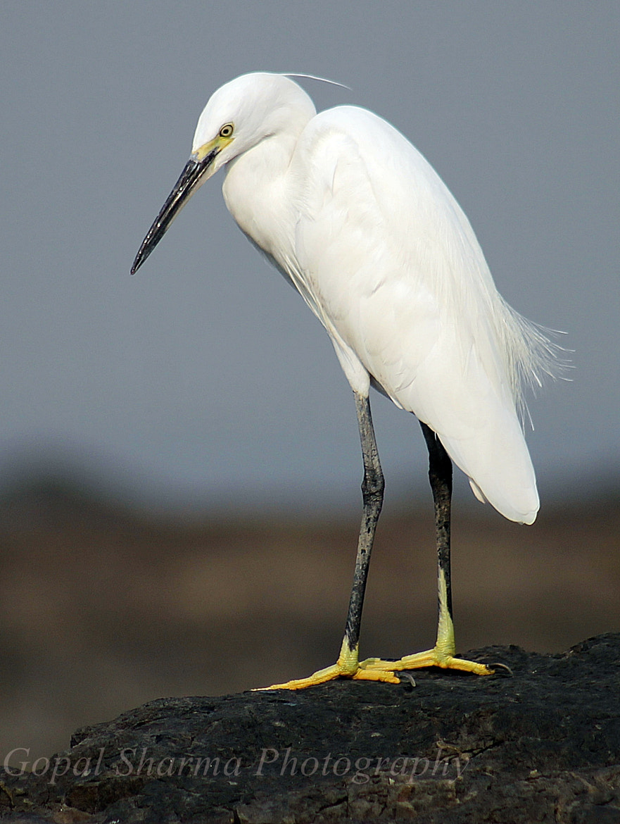 Photograph Little Egret  by Gopal Sharma on 500px