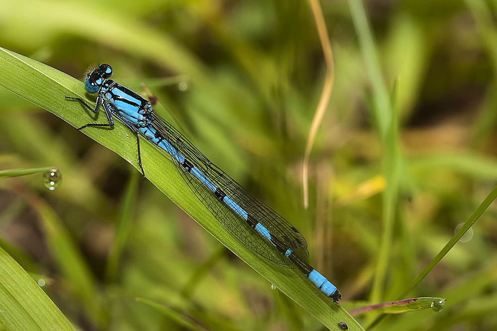 Photograph Common Blue Damselfly by Ashley Beolens on 500px