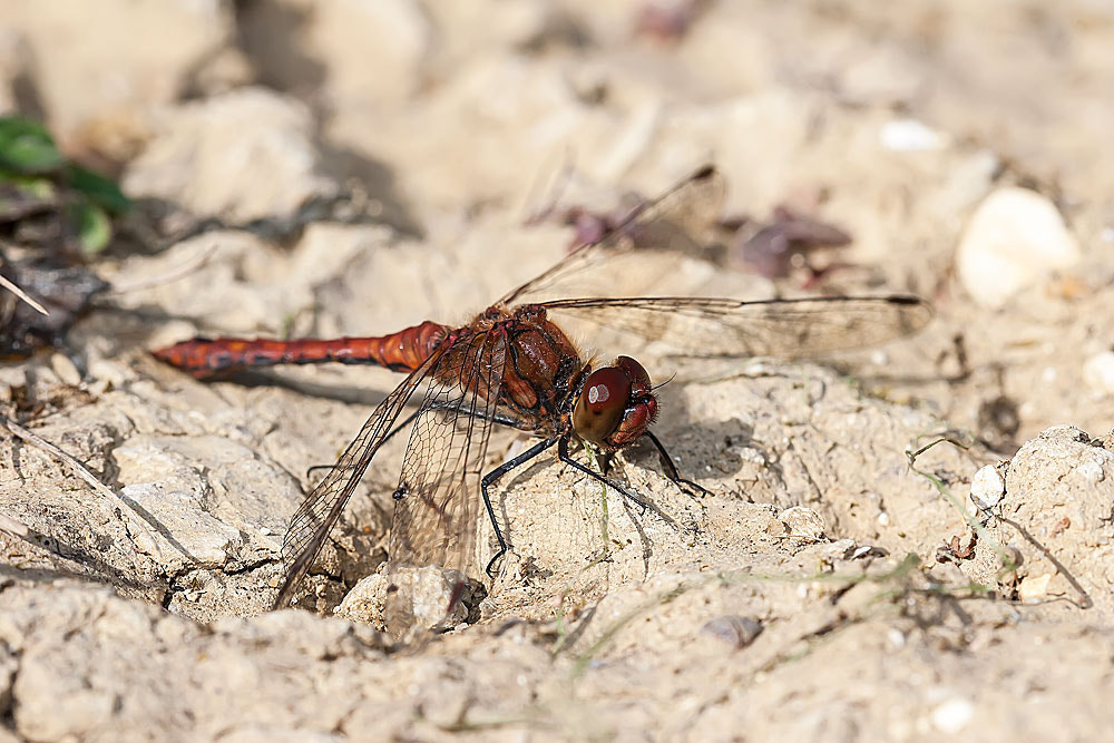 Photograph Ruddy Darter (Male) resting by Ashley Beolens on 500px