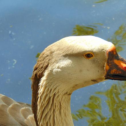 Duck, Sony DSC-H300