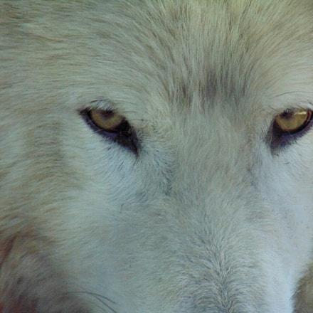 Wolf's eyes, Sony DSC-H300