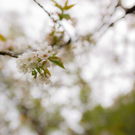 Sakura in Asturias