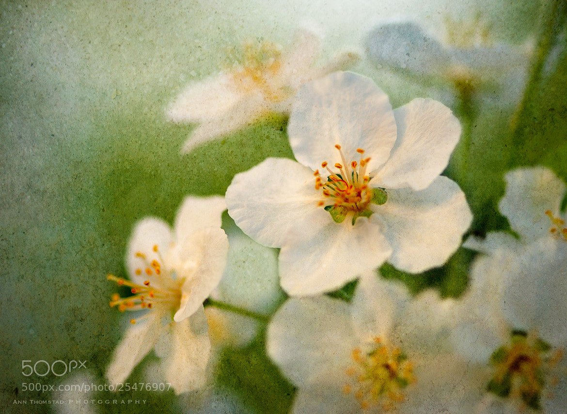 Photograph Apple Blossom by Ann Thomstad on 500px