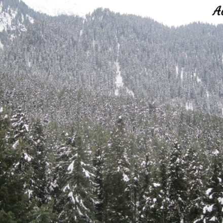 Pine trees, Canon POWERSHOT A2200
