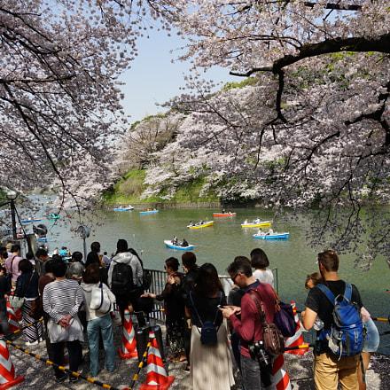 日本樱花节, Sony ILCE-7M2, Sony FE 24-240mm F3.5-6.3 OSS