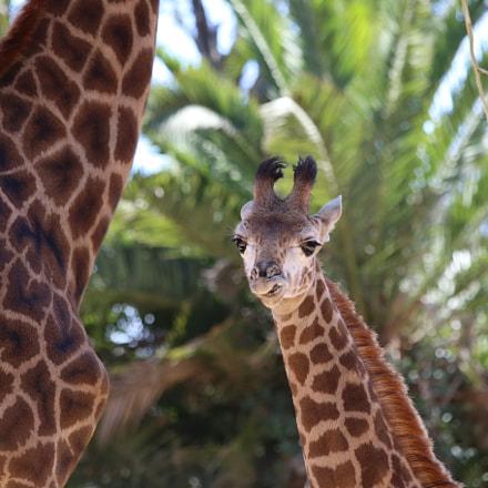 Lovely Giraffe Calf, Canon EOS 6D, Canon EF 70-300mm f/4-5.6 IS USM