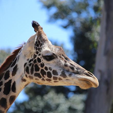 Lovely Giraffe, Canon EOS 6D, Canon EF 70-300mm f/4-5.6 IS USM