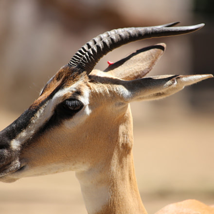 Antelope, Canon EOS 6D, Canon EF 70-300mm f/4-5.6 IS USM