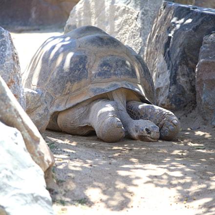 Galápagos Tortoise, Canon EOS 6D, Canon EF 70-300mm f/4-5.6 IS USM