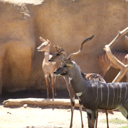 Lesser Kudu, Canon EOS 6D, Canon EF 70-300mm f/4-5.6 IS USM