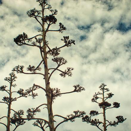 agave flowers towards the, Nikon D7100, AF Zoom-Nikkor 35-135mm f/3.5-4.5 N
