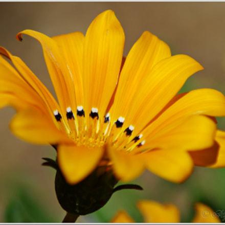Flor amarilla, RICOH PENTAX K-S2, Tamron AF 70-300mm F4-5.6 LD Macro 1:2