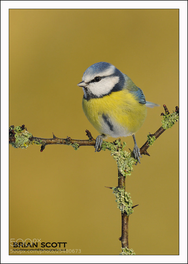 Photograph Blue Tit by Brian Scott on 500px