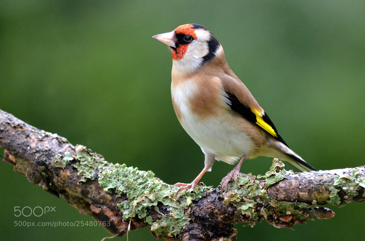 Photograph European Goldfinch by Ryan Clark on 500px
