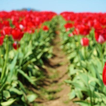 Wooden Shoe Tulip Festival, Sony ILCE-7M2, Sony FE 28-70mm F3.5-5.6 OSS