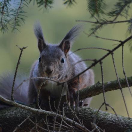 Red Squirrel, Nikon D7100, Sigma 150-500mm F5-6.3 DG OS APO HSM