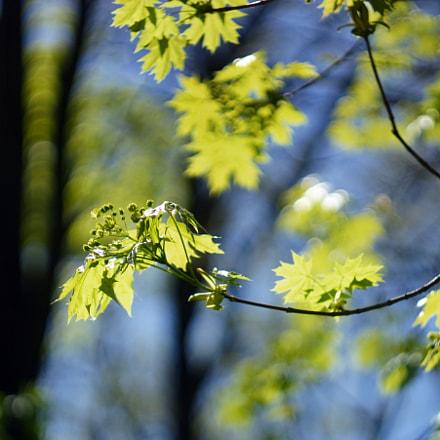 spring foliage, Sony SLT-A65