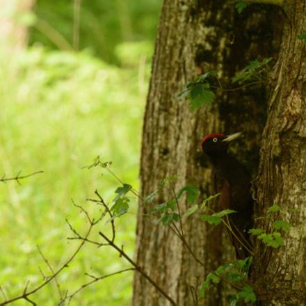 Pic noir ( Black Woodpecker ), Nikon D7100, Sigma 150-500mm F5-6.3 DG OS APO HSM