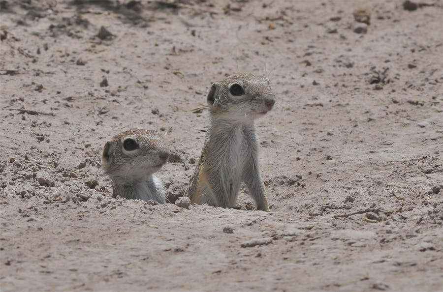 Photograph Mexican Ground Squirrel  by Luis Jaime Leal on 500px